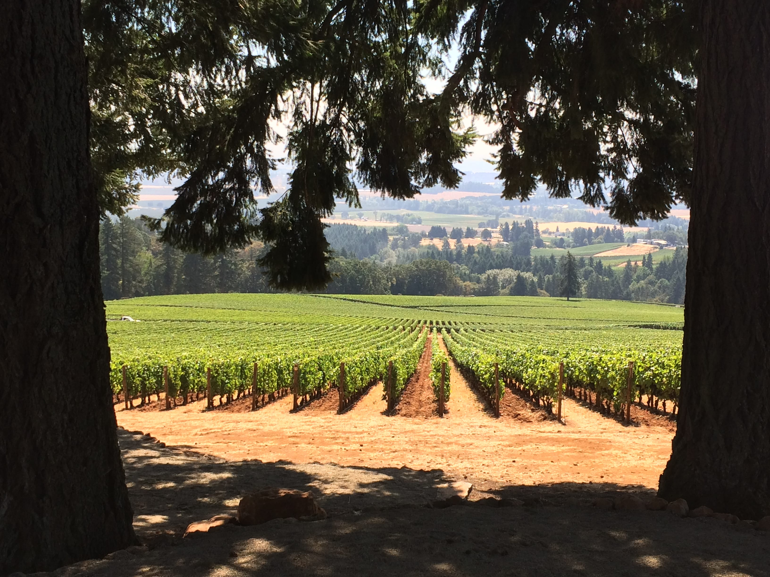 The vineyard view at Domaine Drouhin.