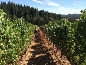 """The """"Beaux Freres Vineyard"""" was steep and it had that special energy that seems to reside at bio intensive vineyards."""